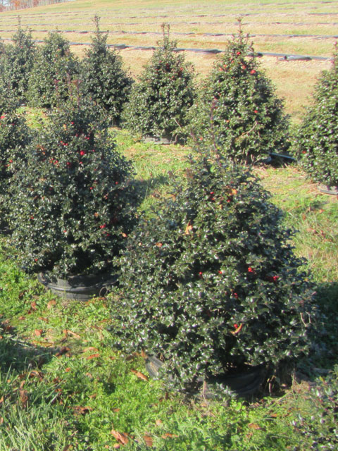 """One Of Barry""""s Nursery Specialty Plants is this Red Beauty TM"""
